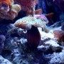 corals inverts - rhodactis indosinensis - hairy mushroom stocking in 46 gallons tank - New Mushroom