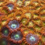 corals inverts - zoanthus sp. - flame polyps stocking in 34 gallons tank - zoos