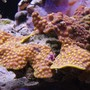 corals inverts - turbinaria sp. - cup coral stocking in 125 gallons tank - Scrool coral in 125 reef