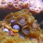 corals inverts - zoanthus sp. - spiderman zoos stocking in 125 gallons tank - Zoas in 125 reef