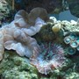corals inverts - nemanzophyllia turbida - fox coral stocking in 120 gallons tank - Fox coral, mushroom, polyps...