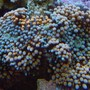 corals inverts - ricordea florida - ricordea mushroom stocking in 999 gallons tank - ricordea florida
