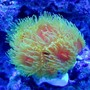 corals inverts - dendrophylliidae - dendrophyllia stocking in 90 gallons tank - Dendrophyllia