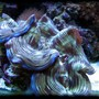 corals inverts - tridacna squamosa - squamosa clam stocking in 125 gallons tank - Squamosa clam