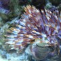 corals inverts - sabellastarte sp. - feather duster stocking in 46 gallons tank - Purple and white feather duster.