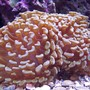corals inverts - euphyllia paranchora - hammer / anchor coral, branching stocking in 120 gallons tank - Hammer Coral