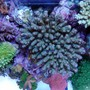 corals inverts - acropora clathrata - green & purple table acropora coral stocking in 120 gallons tank - Table like acro