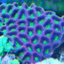 corals inverts - favites sp. - brain coral, favites stocking in 55 gallons tank - prizm favia truly natures art