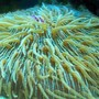 corals inverts - fungia repanda - plate coral, neon green - short tentacle stocking in 56 gallons tank - Plate Coral