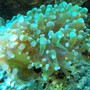 corals inverts - euphyllia paradivisa - frogspawn coral stocking in 56 gallons tank - FrogSpawn