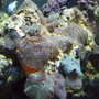 corals inverts - actinodiscus sp. - mushroom stocking in 56 gallons tank - Mushrooms
