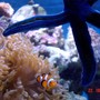 corals inverts - heteractis crispa - sebae anemone stocking in 185 gallons tank - update