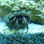 corals inverts - clibanarius tricolor - dwarf blue leg hermit crab stocking in 55 gallons tank - hermit
