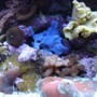 corals inverts - rhodactis inchoata - bullseye mushroom stocking in 34 gallons tank - More Corals