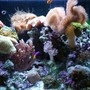 corals inverts - sarcophyton sp. - toadstool mushroom leather coral stocking in 34 gallons tank - more pictures