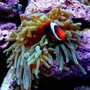 corals inverts - entacmaea quadricolor - anemone stocking in 15 gallons tank - bta with hosting tomato clown
