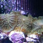 corals inverts - rhodactis inchoata - bullseye mushroom stocking in 24 gallons tank - green fuzzy mushrooms