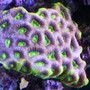 corals inverts - favites sp. - prisim favia colony stocking in 24 gallons tank - blue/purple green eye favia brain
