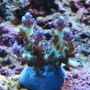 corals inverts - acropora sp. - pearlberry acro frag (ora) stocking in 75 gallons tank - ORA Pearl Berry Acro