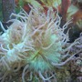 corals inverts - catalaphyllia jardinei - elegance coral stocking in 125 gallons tank - Australian Elegance Coral