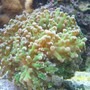 corals inverts - euphyllia paradivisa - frogspawn coral stocking in 75 gallons tank - Frogspawn- Green with pink tip