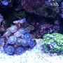corals inverts - zoanthus sp. - pink zoanthids stocking in 24 gallons tank - frags