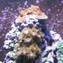 corals inverts - zoanthus sp. - colony polyp stocking in 120 gallons tank - Red Acro, Watermelon Zoo's, Green Zoo's