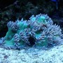 corals inverts - catalaphyllia jardinei - elegance coral stocking in 120 gallons tank - elegance