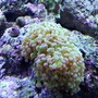 corals inverts - euphyllia paradivisa - frogspawn coral - branched stocking in 120 gallons tank - pink tipped frogspawn