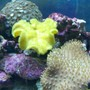 corals inverts - sarcophyton elegans - yellow fiji leather coral stocking in 55 gallons tank - leather coral