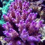 corals inverts - acropora sp. - purple tip acropora stocking in 120 gallons tank - I call this purple ice