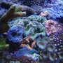 corals inverts - ricordea florida - ricordea mushroom, blue/green stocking in 90 gallons tank