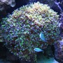 corals inverts - euphyllia paradivisa - frogspawn coral - branched stocking in 90 gallons tank - Frog Spawn w/ Chromas