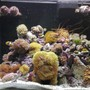 corals inverts - euphyllia glabrescens - torch coral stocking in 34 gallons tank - 34G RedSea Max