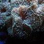 corals inverts - ricordea florida - ricordea mushroom, blue/green (caribbean) stocking in 125 gallons tank - Green Ricordea