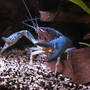 corals inverts - procambarus sp. - hammers cobalt blue lobster stocking in 55 gallons tank - Blue crawfish/crayfish/crawdad/mud-bug.