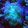 corals inverts - catalaphyllia jardinei - elegance coral stocking in 125 gallons tank - Elegance coral under actinics