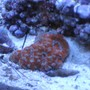 corals inverts - acanthastrea lordhowensis - aussie acan lord coral stocking in 24 gallons tank - Acan