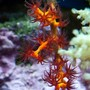 corals inverts - swiftia exserta - orange tree gorgonian stocking in 37 gallons tank - Red-Orange Gorgonian