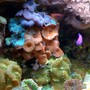 corals inverts - actinodiscus sp. - red mushroom stocking in 75 gallons tank - Assorted mushrooms!