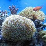 corals inverts - euphyllia paradivisa - frogspawn coral stocking in 120 gallons tank - Torch and Frogspawn