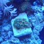 corals inverts - watermelon zoas stocking in 55 gallons tank - Whammin watermelon Zoas and Green Bay Packer Zoas.