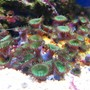 corals inverts - protopalythoa sp. - button polyp stocking in 10 gallons tank - Zoanthids