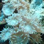 corals inverts - duncanopsammia axifuga - duncan coral stocking in 44 gallons tank - Stoney Coral??