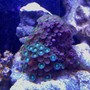 corals inverts - zoanthus sp. - colony polyp, eagle eye stocking in 72 gallons tank - Yellow, green, brown Zo's