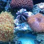 corals inverts - mespilia globulus - blue tuxedo urchin stocking in 65 gallons tank - TUXEDO URCHIN GREEN BRAIN TOADSTOOL FROGSPAWN