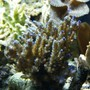 corals inverts - acropora sp. - branching acropora coral, blue stocking in 75 gallons tank - 2