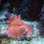 "corals inverts - ricordea yuma - super red ricordea mushroom stocking in 150 gallons tank - The ""Holy Grail"" of Yumas: the pink yuma"