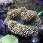 corals inverts - lobophyllia hemprichii - brain coral, lobophyllia stocking in 150 gallons tank - Yellow Lobo - can u dig it?