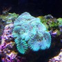 corals inverts - goniastrea sp. - brain coral stocking in 45 gallons tank - green brain
